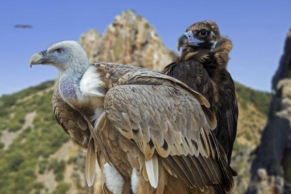 Elevé par l'homme, ce vautour n'est pas un danger