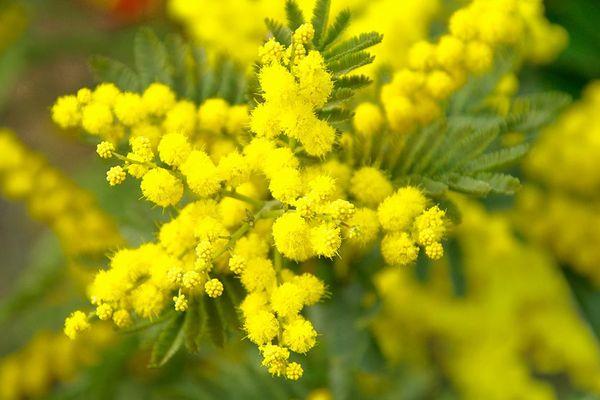 Mimosa en fleur...