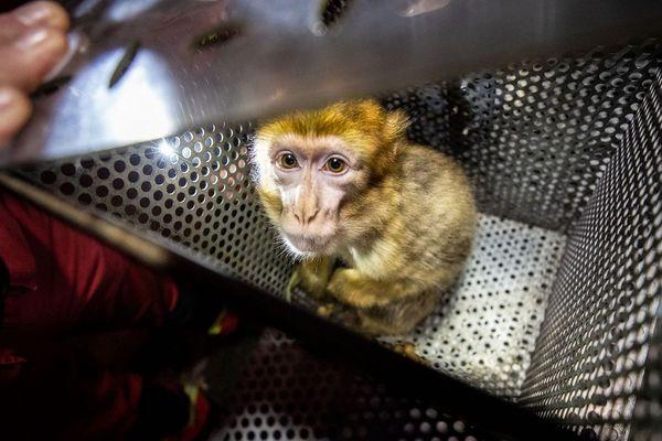 Un singe a été récupéré par les pompiers de Paris chez un particulier.