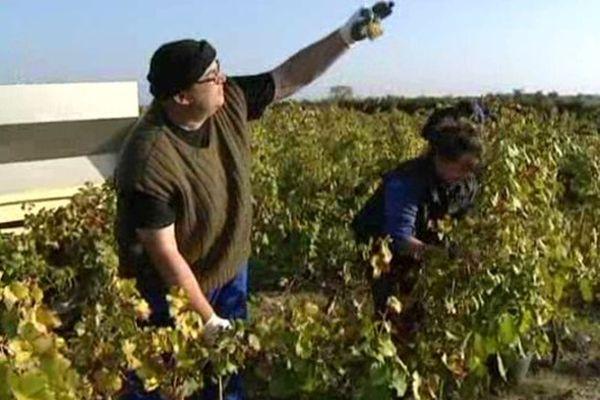 Les vignes victimes du changement climatique