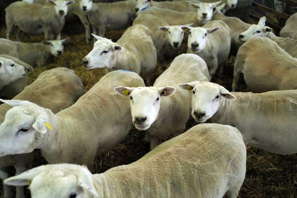 Cyrielle Martin élève 400 brebis de race Texel. Une race idéale pour les literies en laine.