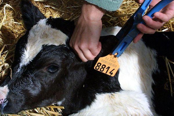 Au départ, Antelliq est spécialisée dans l'étiquetage des animaux : elle produit les boucles d'oreilles