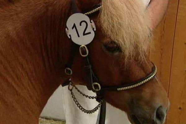 Cosette, jument shetland de 3 ans au championnat de France de la race à Lignières (Cher)