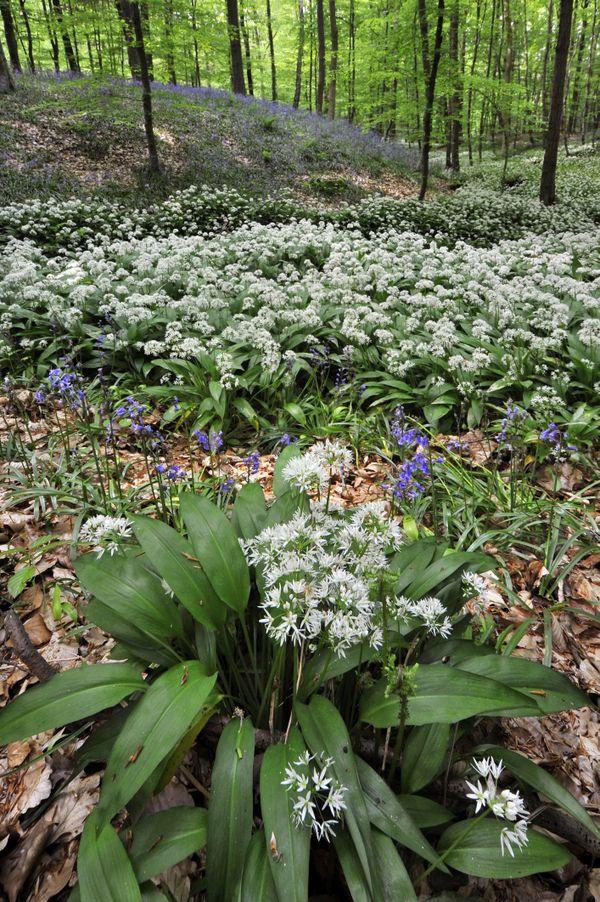 L'ail des ours : ses fleurs en forme d'étoile et son bulbe allongé sont de couleur blanche.