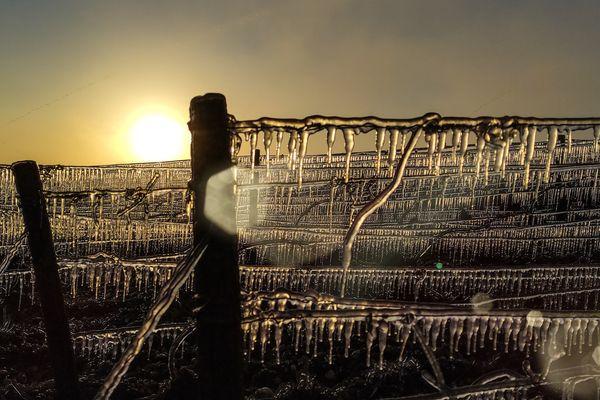 Le soleil dans les vignes gelées à Celles-sur-Ource.