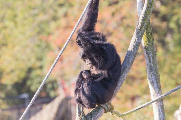 Le taux de reproduction des siamangs étant très faible, la naissance d'un bébé singe à Ardes-sur-Couze est une bonne nouvelle.