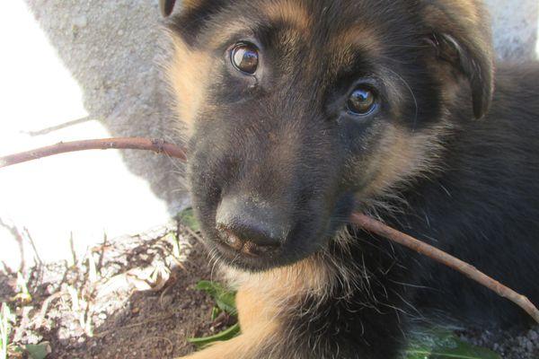 Olympe, la chienne de Nils, qui l'a beaucoup aidé.