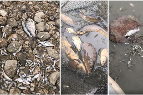 Des milliers de poissons agonisent dans le port de Giffaumont