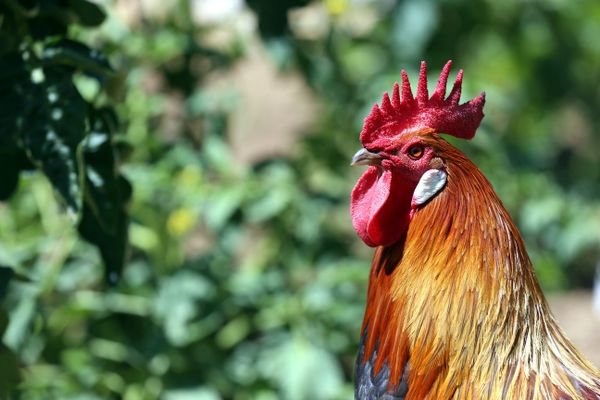 """Le chant du coq pourrait ne plus faire l'objet d'une plainte pour """"troube anormal du voisinage"""". Photo d'illustration"""