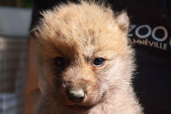 Sept louveteaux arctiques sont nés au Zoo d'Amnéville ! Les petits ont passé leur visite médicale, ce jeudi 23 mai 2019.