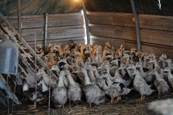 Le cas de grippe aviaire, repéré sur un cygne fin janvier, ne semble pas avoir été transmis à d'autres spécimens.