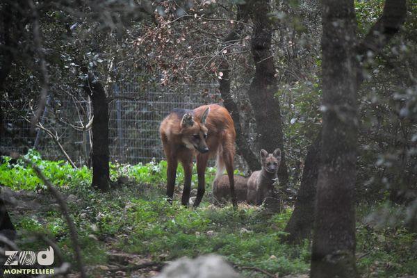 Loups et louveteaux dans leur enclos au parc zoologique de Lunaret à Montpellier.