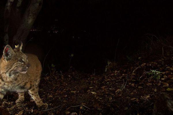 Image d'illustration d'un lynx, en pleine nuit.