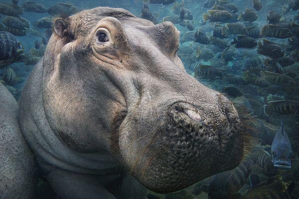 """""""Hippopotamus Underwater"""", l'une des œuvres de l'exposition Endangered par Tim Flach."""