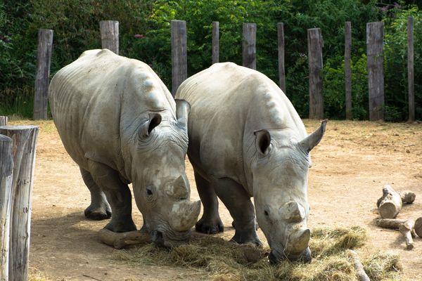 Angus et Wami, deux jeunes rhinocéros blancs.