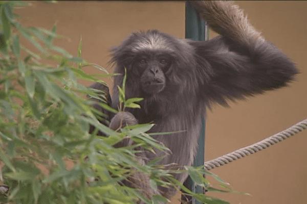 Lulu, doyenne mondiale des gibbons en captivité, vit au parc de la Tête d'Or, à Lyon - 2/2/16