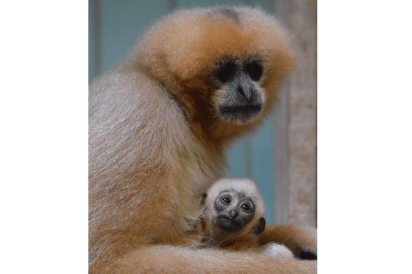 Gibbon à favoris blancs