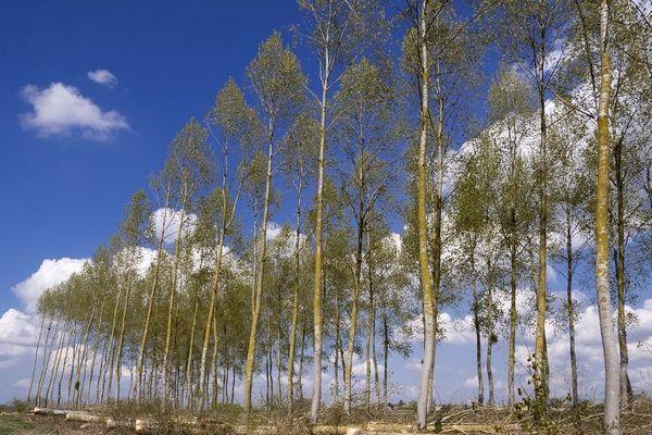 Les peupliers situés derrière le parc des exposition de Caen seront remplacés par 2 000 arbres/illustration.