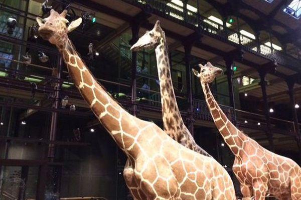Les girafes de la Grande Galerie de l'Evolution, à Paris.