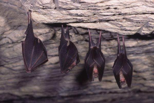 Une espèce courante de chauve-souris en Champagne-Ardenne : le grand rhinolophe.