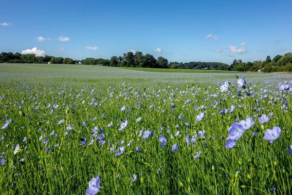 En Seine-Maritime, sous le soleil dans le Pays de Caux, un champ bleuté de fleurs de lin.