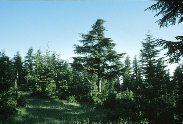 Une forêt de cèdres de l'Atlas adultes dans le massif du Ventoux