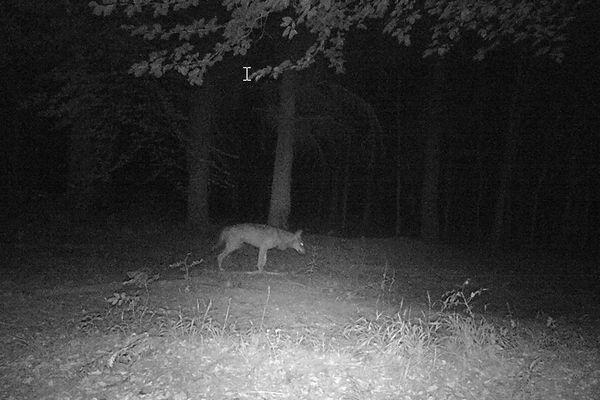Dans des bois à Londinières, un appareil automatique avait capturé l'image de l'animal en avril 2020.