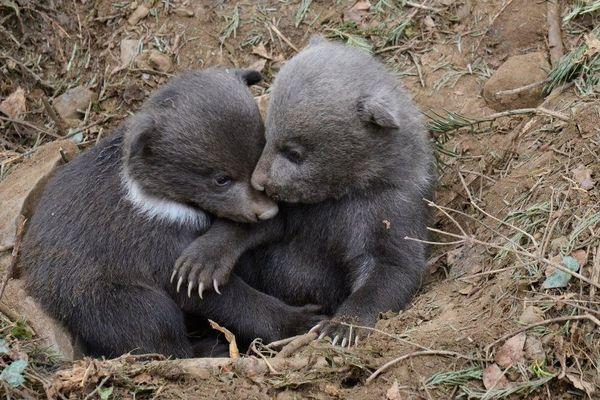 Les deux oursons nés en janvier