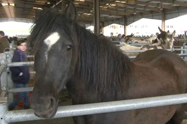 A Saint-Yrieix-le-Perche (87) on vend essentiellement des chevaux d'agrément destinés aux loisirs.