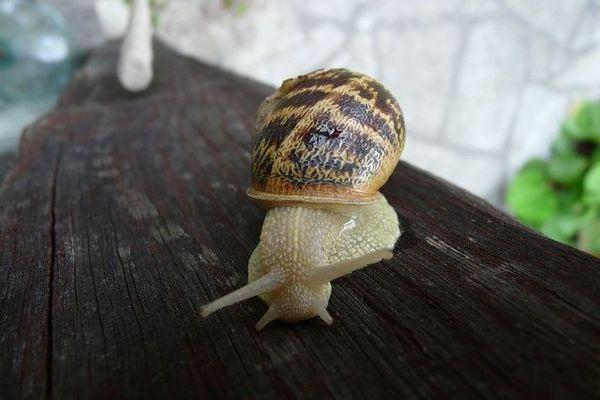 Saurez-vous reconnaître l'espèce de cet escargot ?
