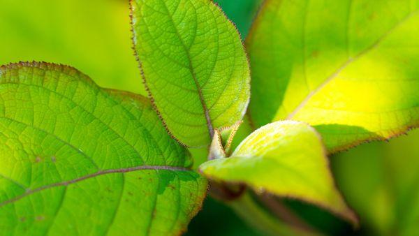 Les feuilles de l'hydrangea aspera sargentiana