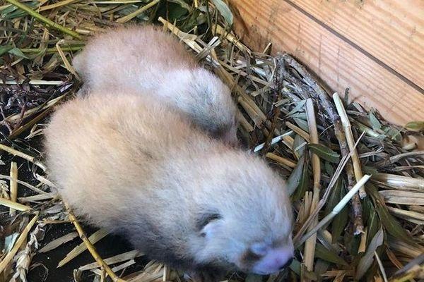 Les deux bébés pandas roux n'ont pas encore de prénom.