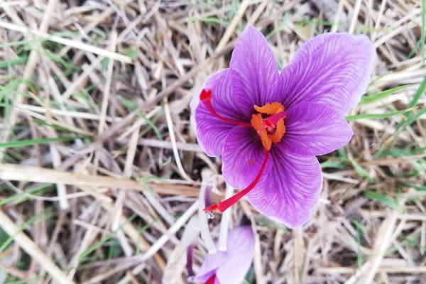 Il faut ramasser les fleurs à peine ouvertes pour avoir un safran de qualité.