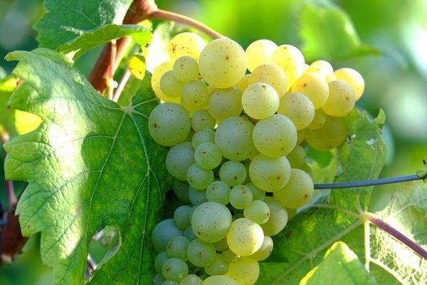 Les vendanges débutent par la récolte du chardonnay