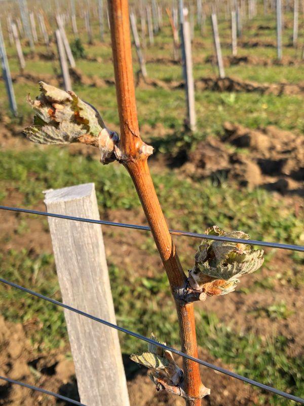 Les bourgeons de vigne ont été pris au piège du gel dans l'Allier.