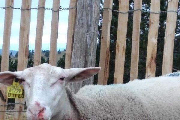 Le bilan de l'attaque de loups de ce jeudi fait état d'une brebis morte et de trois blessées au Mont Lozère, le 17 juillet 2020.