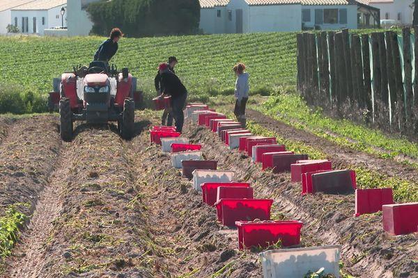 Le ramassage des pommes de terre à Noirmoutier