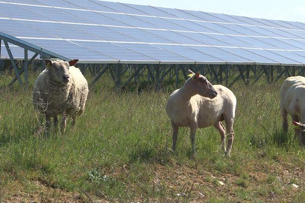 Depuis février, des moutons gambadent au milieu des panneaux photovoltaïques de la centrale de Fontenet (Charente-Maritime).