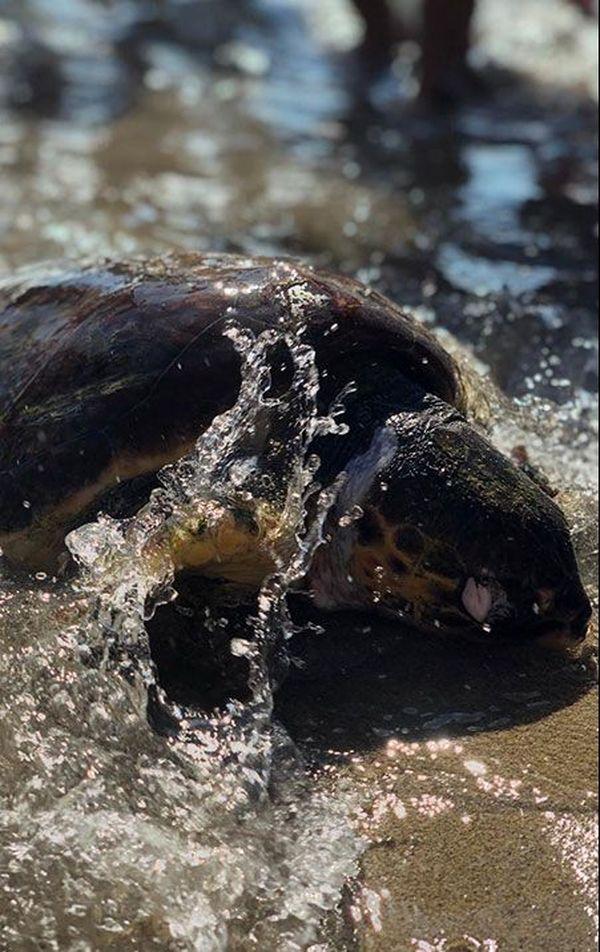 Voici la tortue qui s'est échouée sur la plage de Sainte-Croix à Martigues. Les échouages de tortues sur les plages sont des événements rares qui suscitent beaucoup d'intérêt et de questions.