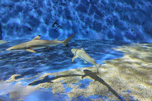 3 requins à pointe noires sont nés à l'aquarium de Lyon le 4 août 2020.