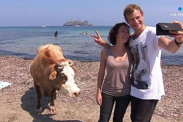 Vaches et baigneurs se partagent la plage de Barcaggio en parfaite harmonie