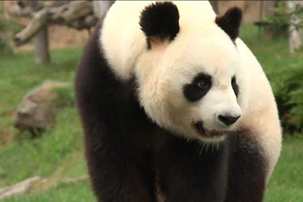 Huan Huan, femelle panda au ZooParc de Beauval à St Aignan-sur-Cher dans le Loir-et-Cher