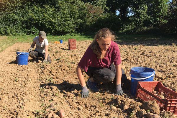 Marine (au 1er plan) et Eloïse ramassent des pommes de terre dans un champ appartenant à Terre de liens et cultivé par Erwann Ravary à Boisgervilly.