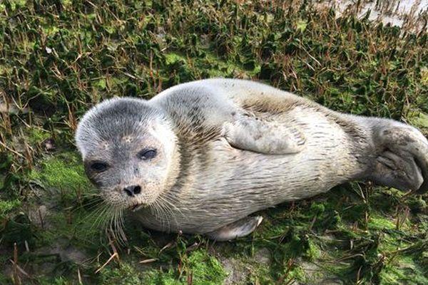 Le jeune phoque annelé retrouvé en piteuse condition en Gironde, à la fin du mois de mars.