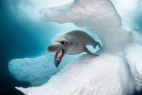 Une image rare du léopard des mers prise en Antarctique par le photographe niçois Greg Lecoeur.