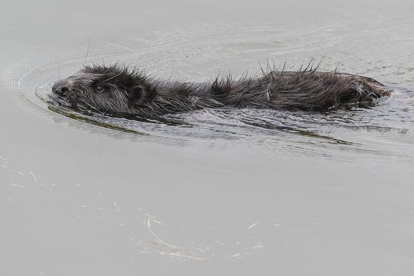 En 15 ans dans le Tarn, le castor d'Europe a colonisé les berges de la rivière sur près de 40 km.