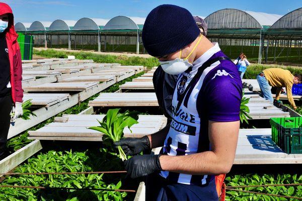 En Loire-Atlantique la récolte du muguet 2020 s'annonçait exceptionnelle en quantité et surtout en qualité, le covid-19 aura eu raison de sa commercialisation, 42 millions de brins n'ont pas été ramassés