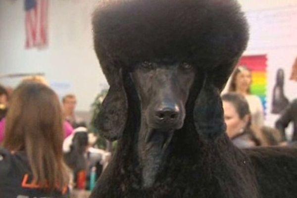 """L'un des concurrents du prestigieux concours de toilettage canin """"Les ciseaux d'or"""" - 8 février 2015"""