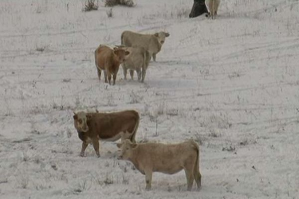 Un sale temps pour les vaches