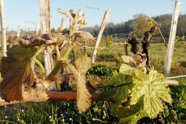 Jeunes pousses de vigne après le gel au petit matin © Sophie Aribaud, conseillère viticole
